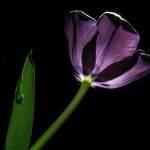 2014-03-23-BlackTulips-230-Bearbeitet.jpg