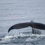 2014-08-28-whale-watching-277.jpg