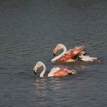 2016-08-28-flamingo-397.jpg