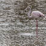 2016-08-28-flamingo-672.jpg