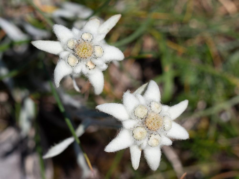2018-07-02-edelweiss-001.jpg